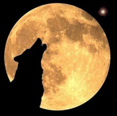 .Contrary to popular belief, wolves do not howl at the moon. If you happen to take a picture of the wolfs silhouette in the light of the full moon and his muzzle is raised in the air, it is because he wants his voice to carry farther. Wolves howl for a lot of reasons. They howl when pups are born, after a successful hunt, to gather the pack, when one has fallen behind, and when danger is near. There are many other reasons. But the moon is not one of them.