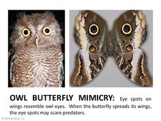 Mimicry in nature - owl and butterfly eye spots on wings