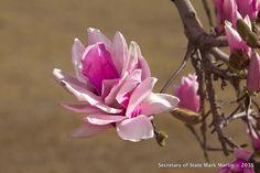 2-19-16 Japanese Magnolias - Arkansas Secretary of State - Picasa Web Albums