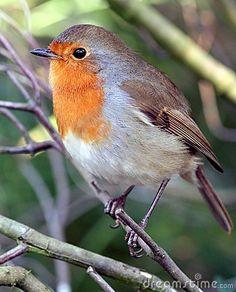 Robin. Pretty Birds, Beautiful Birds, Beautiful Pictures, Parakeets As Pets, Red Robin Bird, Animals And Pets, Cute Animals, European Robin, Rockin Robin