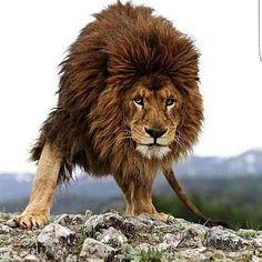 Beautiful old lion