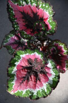 Begonia Rex. Mi abuela tenía esta planta al lado del ventanal de la cocina. Tenía todos los colores del mundo y unas flores rosas muy carnosas. Las hojas tenían pelitos. Me acuerdo aún de su olor.