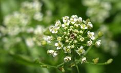 Traista ciobanului, planta care alina durerile menstruale