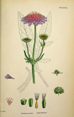 Field Scabious, scabiosa arvensis - high resolution image from old book. Vintage Botanical Prints, Botanical Drawings, Botanical Flowers, Botanical Art, Plant Illustration, Botanical Illustration, Nature Prints, Science Art, Fauna