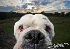 Harvey the Boxer Dog. Awesome Derbyshire scenery, on the edge of the Peak Distri… - Dog Photography Funny Dog Photos, Funny Dogs, Boxer Dogs, Boxers, Derbyshire, Dog Photography, Photo Sessions, French Bulldog, Your Dog