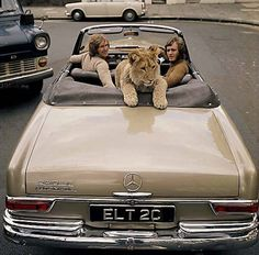 Just taking the pet for a ride. This is a Mercedes 220 SE Automatic Cabrio. Anthony Bourke and John Rendell used to take Christian the Lion for a ride. He enjoyed it very much!
