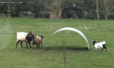 (So nice to see that the farmer has included playground equipment for them.) 'Wobble goats'