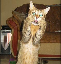 10 Huvittavaa kuvaa dramaattisista kissoista