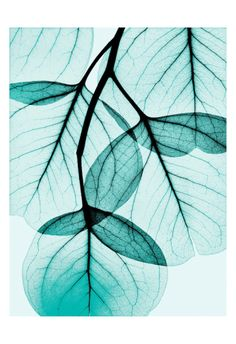 Teal Eucalyptus Print by Albert Koetsier at Art.com
