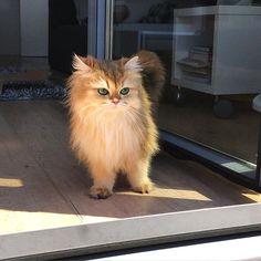 "Repost from @smoothiethecat ""Taking a look outside! (Read: on the balcony) #smoothiethecat#cat#catsofinstagram#we_love_cats#smoothie#cute#kitten#Кот#topcatphoto#قط#catlover#bestmeow#pet#kedi#gato#meow#fluffy#weeklyfluff#instacat#Katzen#petsagram#kawaii#catoftheday#catlife#bestcats_oftheworld#ilovemycat#catlovers#instacat#igcutest_animals#猫"""