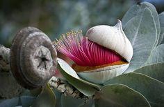 Эвкалипты Австралии в картинках - Австралия - Козоводческий портал