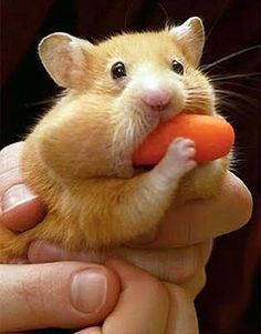 We had hamsters when I was little and give them all kinds of crazy stuff just to see what they could fit in their mouths! Lol