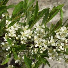 Lamohietakirsikka – Prunus pumila var. depressa (sandkörsbär --maanpeitekasvi