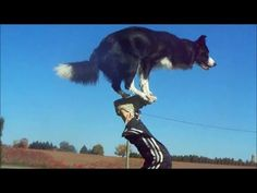 ---- is Border Collie! Nana the Border Collie Performs Amazing Dog Tricks Dog Clicker Training, Dog Training Tips, Leash Training, I Love Dogs, Cute Dogs, Awesome Dogs, Funny Dogs, Funny Animals, Smart Animals