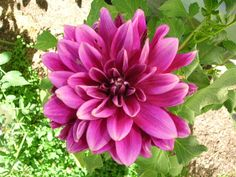 Growing Dahlias in the Garden: How to Plant, Grow, and Care for Dahlia Flowers