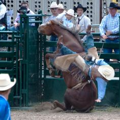 NERVOUS BREAKDOWN.  A bucking horse falls immediately out of the chute with its rider - Bareback Bronc Riding.