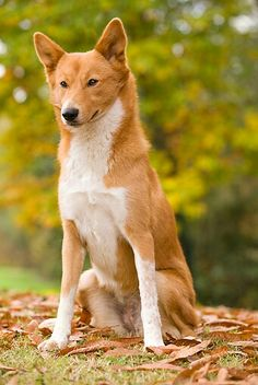 Top 10 Healthiest Dog Breeds Breed Canaan Dog: This breed is also known to be free from hereditary health issues. Rare Dog Breeds, Best Dog Breeds, Best Dogs, Healthiest Dog Breeds, Every Dog Breed, Canaan Dog, Wolf, Animal Books, Wild Dogs