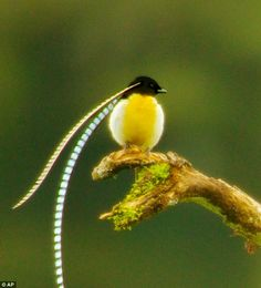 Adult male King of Saxony Bird of Paradise is seen at a calling perch in Papua New Guinea