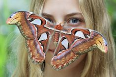 Wonderful animal pictures of 2014 BRNO, CZECH REPUBLIC An Attacus atlas moth sits on a visitor's face at the Botanical Garden of Masaryk University on September Butterfly Mask, Big Butterfly, Pictures Of The Week, Cool Pictures, Atlas Moth, Fact Of The Day, Beautiful Bugs, Beautiful Butterflies, Tier Fotos