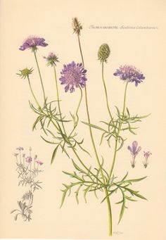 1954 Pincushion Flower Antique Botanical Print by Craftissimo, €12.95