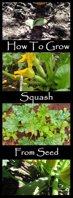 Growing Squash From Seed Or A Start Is The Best Introduction To Vegetables I