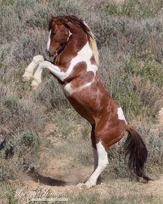 Apache Rears  Fine Art Wild Horse Photograph by Carol Walker www.LivingImagesCJW.com by shari