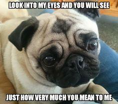 Shelby the pug and her beautiful eyes Pug Meme, Funny Pugs, Cute Pug Puppies, Cute Pugs, Baby Pugs, Shih Tzus, Cute Baby Animals, Beautiful Eyes, Fur Babies
