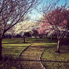 Secret cherry blossom garden 🌸#moment #secretplace #secret #nature #spring #garden #cherryblossom #white #rose #inthecity #chill #relaxed #peaceful