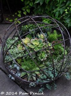 Succulent-filled wire sphere. Love just around the bend at Bella Madrona: Portland Garden Bloggers Fling | Digging by rosemary