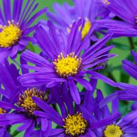 """A Glowing Fall Border with """"Violet Queen (Italian Aster)Asters Fall Bloommer , Dogwood and Grasses"""