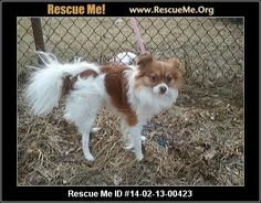 Augusta Dog Adoptions Meet Buddy a handsome 3 year old pom/chihuahua mix recently rescued from local pound. 2-18-14 Augusta County Staunton, Va, VA MAP IT! Contact: 540-396-3666, 540-448-0041