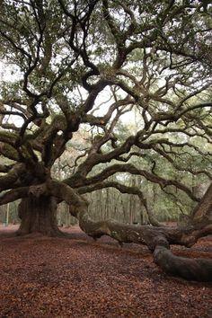 Angel Oak - Charleston, SC. // Photography by Gwyneth Manser.