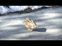 Why did the Snipe cross the road? ▶ Dancing Bird - YouTube