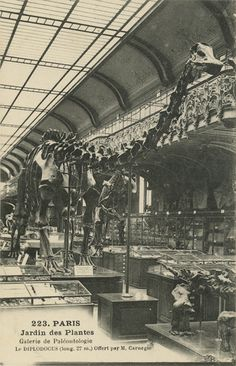 Postcard of cast of Diplodocus carnegiei in the Jardin des Plantes in Paris, France. 1910s.