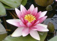 Lilly flower taken in St.Andrews