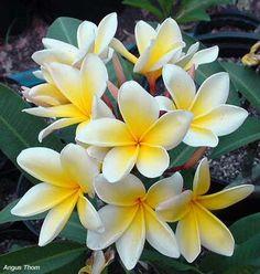 Plumeria 'Aztec Gold'