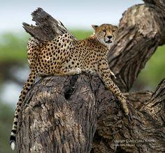 Cheetah, Lake Ndutu area, Tanzania by Alex Kirichko