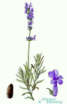 Lavendel Lavander, Lavender Flowers, Shabby Vintage, Botanical Illustration, Decoupage, Herbs, Provence, Watercolors, Garden