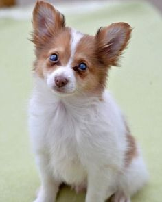 Cute: The miniature Shetland sheepdog was discovered in the ladies toilets at a service station in Sandbach, Cheshire. Vets will carry out tests to see if his sight can be restored.Awwwww!!!