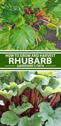 When's the last time rhubarb crossed your mind? We'll teach you how to add this easy-to-grow, tart but tasty perennial stalk vegetable to your garden, so you can start counting down the days until it's time for delicious jams, pies, pastries, and more to flow from your kitchen. Read more now on Gardener's Path.