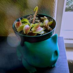 Proud new owner of my first plant. A carnivorous one at that. Meet venusaur.        #naturevibes #nature #venusflytrap #venus #carnivore #carnivorousplant #plant #proudowner #first #gooutside #excited #baby #new #coolstuff #nikon #coolpix #nikoncoolpix #coolpixs6900 #pokemon #pokémon #bulbasuarplanter #bulbasaur #green #grasspokemon #nerd #dionaeamuscipula #flytrap #venusaur by vintagenerd