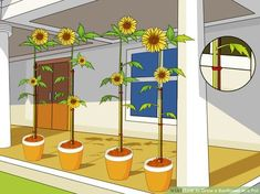 Image titled Grow a Sunflower in a Pot Step 13