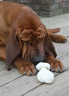 going to have a hard time choosing between a bloodhound or a basset