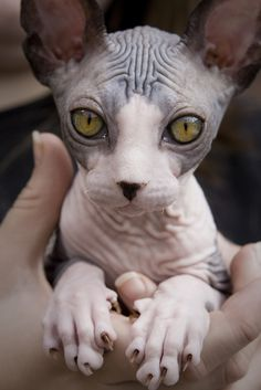 UGUGUGUGU SO CUTE AND WEIRD AND FREAKY, I JUST LOVE SPHYNX CATS