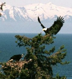 Eagle nest Zippo Collection, Eagle Pictures, Eagle Nest, Bald Eagles, Collections Etc, Golden Eagle, Nests, Hawks, Whisper