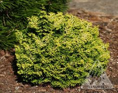 Chamaecyparis obtusa ' Butter Ball ' Dwarf Japanese Hinoki Cypress. - Bright, lemony yellow tips on tightly compact foliage. The vivid coloring contrasts beautifully with naturally darker inner foliage. A consistently rounded habit and very slow growth distinguish this selection as superior to others. Prefers moist, well-drained soil. Zones 5-9. Full Sun. Mature Size 1-2 feet high by wide.