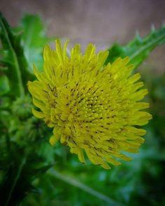 タンポポ系の子は。 こやって顔近づけると 花びら1枚がひとりづつで 集団生活してるってのがよく解る。 仲良くね。   #flower #花