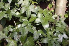 Muratti eli euroopanmuratti (Hedera helix) on Euroopasta ja läntisestä Aasiasta kotoisin oleva puuvartinen köynnöskasvi. Murattia käytetään usein puutarhoissa koristamaan seiniä ja aitoja. Huonekasvina sitä kasvatetaan usein amppelissa tai tuettuna ruukkukukkana. Muratti ei ole kaikista helppohoitoisin kasvi, mutta mitenkään mahdotonta sen kasvatus sisätiloissa ei ole. - Ivy