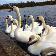 So many swans in Hyde Park! #hydepark #london #swans #swan #pond #londonlife #swanlife #travel #traveling #travels #travelphotography #travelingram #traveller #travelersnotebook #travelgram #animalsofinstagram #animal #animals #cute #cutenessoverload