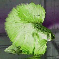 Love this green betta
